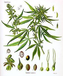 Cannabis Sativa er en gammel lægeplante