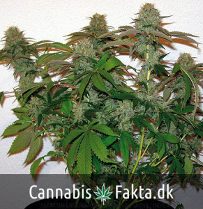 Eight Ball Kush - Cannabis fakta