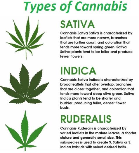 Cannabis Satica Indica og Ruderalis typer